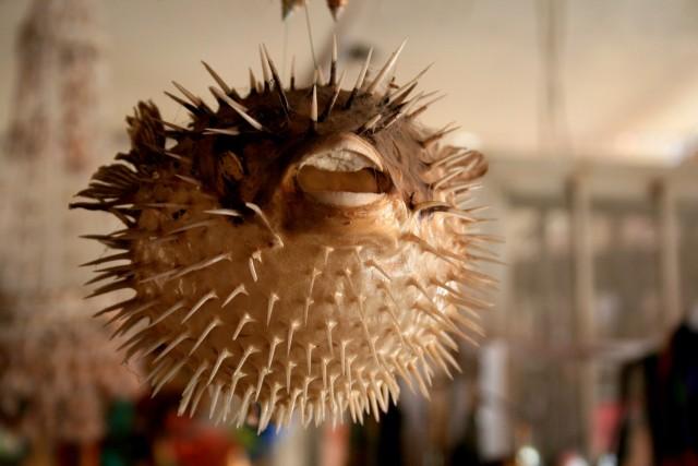 Ядовитая рыба фугу, Японская кухня, Рыба фугу фото, Рыба фугу: яд, Как готовить, блюдо японской кухни, Приготовление рыбы фугу, Как подать рыбу фугу, Как приготовить рыбу фугу, Кафе и рестораны японской кухни