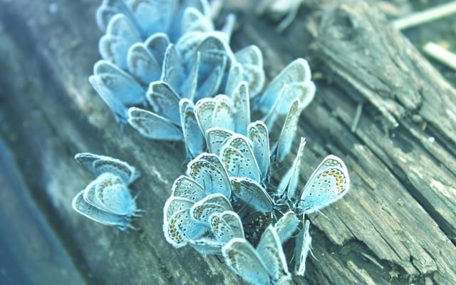 Blue-Butterflies